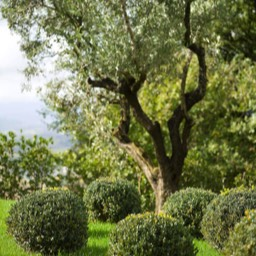 Cinque Querce e Mezzo: Ancient olive trees set around the swimming pool and gardens