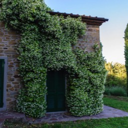 La Casina: Jasmin in flower, enjoy the scents & sights of Tuscany